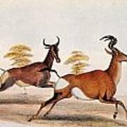 Sassaby And Hartebeest, Art Print
