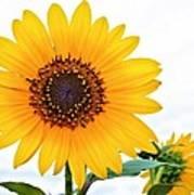 Sassy Sunflower Art Print