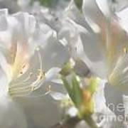 Satin White Azaleas Art Print