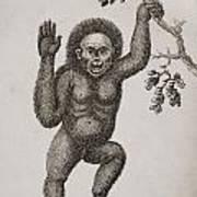 Satyrus, Ourang Outang. Pongo Or Jocko Art Print