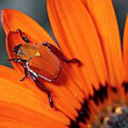 Scarab Beetle On A Guzmania Flower Art Print