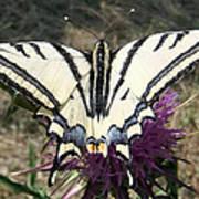 Scarce Swallowtail Art Print