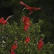 Scarlet Ibises Roost In A Red Mangrove Art Print