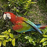 Scarlet Macaw Ara Macao Adult Perching Art Print