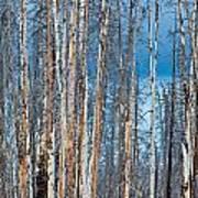 Scarred Pines Yellowstone Art Print by Steve Gadomski