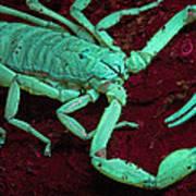 Scorpion Glows In Uv Light Costa Rica Art Print