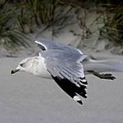 Sea Gull Searching Art Print