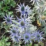 Sea Holly Art Print