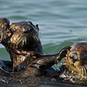 Sea Otter Enhydra Lutris Bachelor Male Art Print