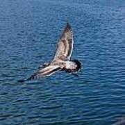 Seagull In Flight Art Print