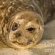 Seal 1 Art Print