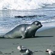 Seal And Seagulls At Piedras Blancas Beach Art Print