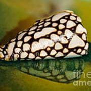 Seashell Wall Art 4 - Conus Marmoreus Art Print