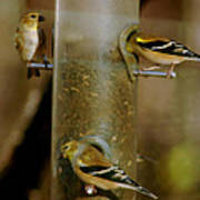Seed Eating Song Birds Art Print