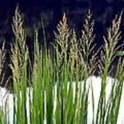 Seedy Grass Art Print