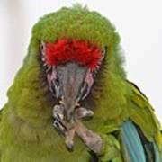 Self-conscious Parrot Art Print by Naomi Berhane