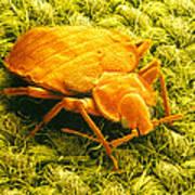Sem Of A Bed Bug Art Print