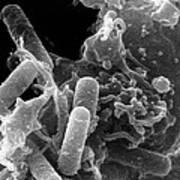 Sem Of Immune System Phagocyte Ingesting Bacteria Art Print