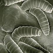 Sem Of Maggots Of The Green Blow Fly Art Print