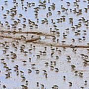 Semipalmated Sandpiper Calidris Pusilla Art Print