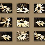 Sepia Daisy Flower Series Art Print by Sumit Mehndiratta