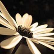 Sepia Daisy Flower Art Print