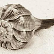 Sepia Shell Art Print