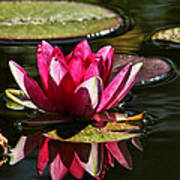 Serene Pink Water Lily Reflection Art Print