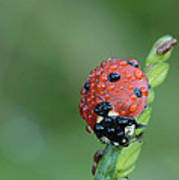 Seven-spotted Lady Beetle On Grass With Dew Art Print