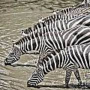 Several Thirsty Zebra Art Print