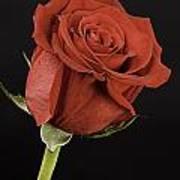 Sharp Red Rose On Black Art Print by M K  Miller