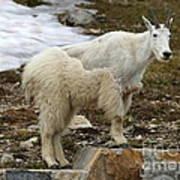 Shedding Mountain Goat Art Print