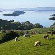 Sheep Grazing By Lough Corrib Cong Art Print