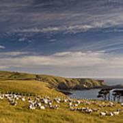 Sheep Grazing In Headland Art Print