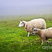 Sheep In Misty Meadow Art Print