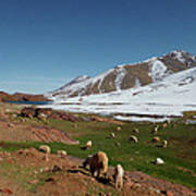 Sheep In The Atlas Mountains 02 Art Print