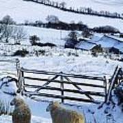Sheep, Ireland Sheep And A Farm During Art Print