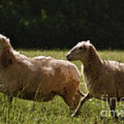 Sheep On The Move Art Print