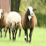 Sheep On The Run Art Print