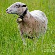 Sheep With A Bell Art Print