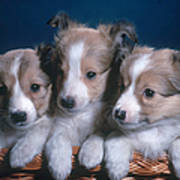 Sheltie Puppies Art Print by Photo Researchers, Inc.