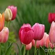 Sherbert Color Tulips Art Print