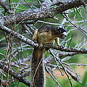 Shermans Fox Squirrel Art Print