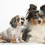 Shetland Sheepdog And Dachshund Puppy Art Print
