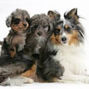 Shetland Sheepdog With Puppies Art Print
