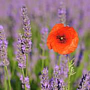 Shirley Poppy In English Lavender, Valensole, Valensole Plateau, Alpes-de-haute-provence, Provence-alpes-cote D Azur, Provence, France Art Print