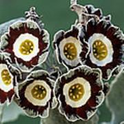 Show Auricula 'queen Bee' Flowers Art Print