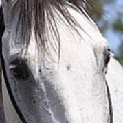 Show Horse At Mule Days Art Print