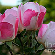 Shrub Roses Art Print