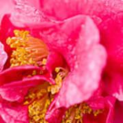 Shy Camellia Art Print